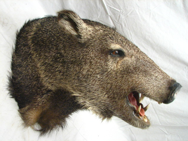 Boar Head Mounts http://www.ebay.com/itm/WILD-PIG-BOAR-HEAD-MOUNT-TAXIDERMY-HOG-FUR-TROPHY-/290595405457